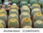 small cactus in mini pot in the ... | Shutterstock . vector #1116031631