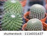 small cactus in mini pot in the ... | Shutterstock . vector #1116031637