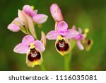 ophrys tenthredinifera  sawfly... | Shutterstock . vector #1116035081