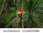 Red Parrot Scarlet Macaw  Ara...