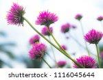 pink grass flowers in field | Shutterstock . vector #1116045644