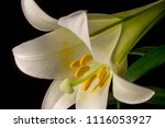 Easter Lily In Bloom