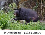 formosan black bear  ursus...   Shutterstock . vector #1116168509