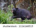 formosan black bear  ursus...   Shutterstock . vector #1116168515
