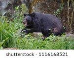 formosan black bear  ursus...   Shutterstock . vector #1116168521