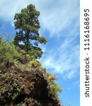 Small photo of Canary pine pinus canariensis, hike from Las Tricias to Santo Domingo de Garafia
