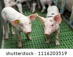 pink pigs on the farm  dirty... | Shutterstock . vector #1116203519