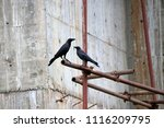 Small photo of Black crow perch on the scaffolding iron with cement walls are under construction background. It is a large perching bird with mostly glossy black plumage, a heavy bill, and a raucous voice.