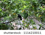 Small photo of Black crow perch on the wire with green leaves background. It is a large perching bird with mostly glossy black plumage, a heavy bill, and a raucous voice.