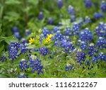 Yellow Texas Star Wildflower...