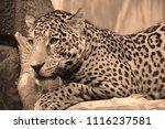 the amur leopard is a leopard...   Shutterstock . vector #1116237581