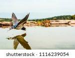 Barn Swallow  Hirundo Rustica ...