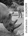white rhinoceros or square...   Shutterstock . vector #1116242999