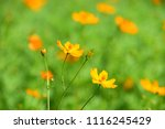 colorful cosmos flowers with...   Shutterstock . vector #1116245429