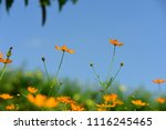 colorful cosmos flowers with...   Shutterstock . vector #1116245465