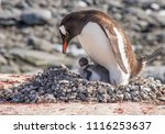 A Mother Gentoo Penguin And Her ...