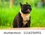 bulldog friendly  dog animal | Shutterstock . vector #1116256901