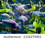 a flock of carnivorous fishes... | Shutterstock . vector #1116274301