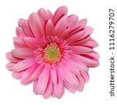 vector gerbera. daisy. pink... | Shutterstock .eps vector #1116279707