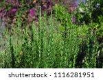 fresh rosemary wild grow...   Shutterstock . vector #1116281951