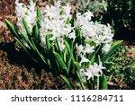 bright white flower hyacinth in ... | Shutterstock . vector #1116284711