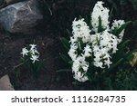 bright white flower hyacinth in ... | Shutterstock . vector #1116284735