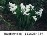 bright white flower hyacinth in ... | Shutterstock . vector #1116284759