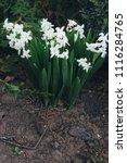 bright white flower hyacinth in ... | Shutterstock . vector #1116284765