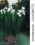 bright white flower hyacinth in ... | Shutterstock . vector #1116284771