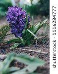 bright white flower hyacinth in ...   Shutterstock . vector #1116284777