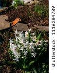 bright white flower hyacinth in ... | Shutterstock . vector #1116284789