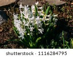 bright white flower hyacinth in ... | Shutterstock . vector #1116284795