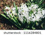 bright white flower hyacinth in ... | Shutterstock . vector #1116284801