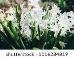 bright white flower hyacinth in ... | Shutterstock . vector #1116284819