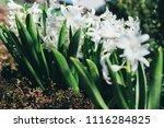 bright white flower hyacinth in ... | Shutterstock . vector #1116284825