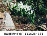 bright white flower hyacinth in ... | Shutterstock . vector #1116284831