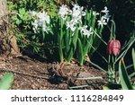bright white flower hyacinth in ... | Shutterstock . vector #1116284849