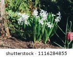 bright white flower hyacinth in ... | Shutterstock . vector #1116284855