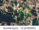 bright white flower hyacinth in ... | Shutterstock . vector #1116284861