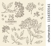 collection of elderberry black  ... | Shutterstock .eps vector #1116333161