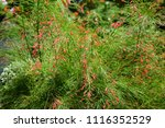 colorful cosmos flowers with...   Shutterstock . vector #1116352529