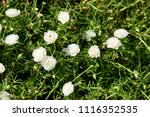 colorful cosmos flowers with...   Shutterstock . vector #1116352535
