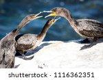 Cormorant And Chicks Feeding On ...