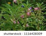 impatiens balsamina fruiting ... | Shutterstock . vector #1116428309