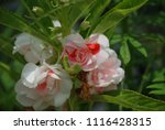 impatiens balsamina fruiting ... | Shutterstock . vector #1116428315