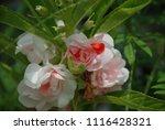 impatiens balsamina fruiting ... | Shutterstock . vector #1116428321