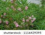 impatiens balsamina fruiting ... | Shutterstock . vector #1116429395