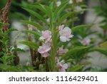 impatiens balsamina fruiting ... | Shutterstock . vector #1116429401