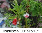 impatiens balsamina fruiting ... | Shutterstock . vector #1116429419