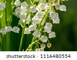 lilies of the valley   a... | Shutterstock . vector #1116480554